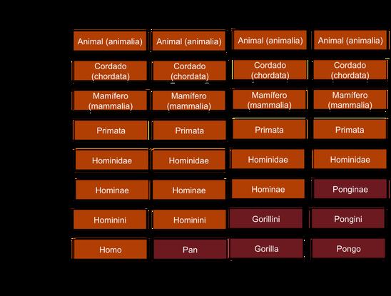 Classificação biológica de humanos, chimpanzés, orangotangos e gorilas